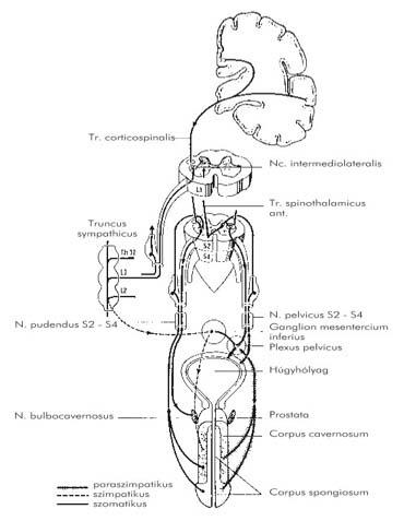 intraabdominális visszér