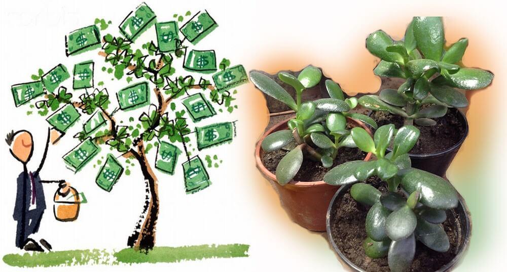 a pénzfa gyógyászati tulajdonságai a visszér ellen