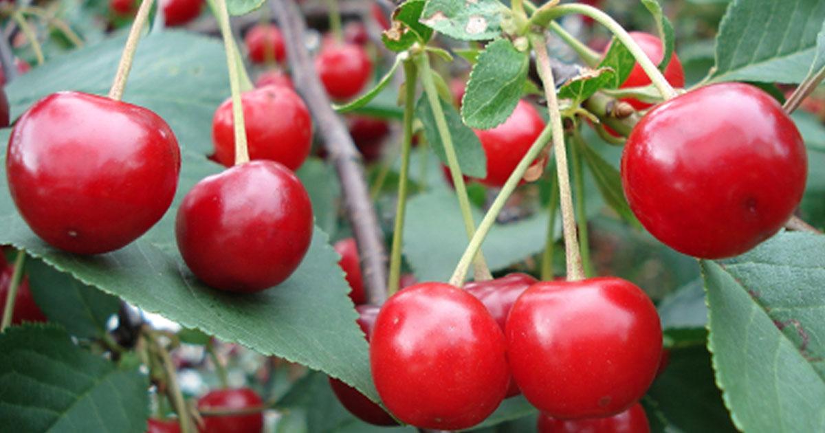 visszér és cseresznye